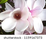magnolia flowers. close up of... | Shutterstock . vector #1159167373