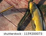 fishing  a tench in a net | Shutterstock . vector #1159200073