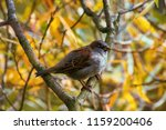 Small photo of House Sparrow (Passer domesticus, male) on yellow background. Autumn arrived in city, urban nature. Yellow leaves in square, public garden. Time feeding birds