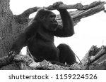 the western lowland gorilla is... | Shutterstock . vector #1159224526