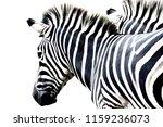 Portrait Zebra Isolated  On...