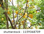 a fresh of star apple on the... | Shutterstock . vector #1159368709