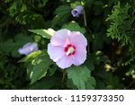 hibiscus syriacus or rose of... | Shutterstock . vector #1159373350