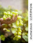 grapes harvest. farmers hands... | Shutterstock . vector #1159394146