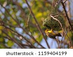 Southern Masked Weaver In The...
