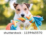 Small photo of Close up portrait of dog playing fetch with colorful toy rope