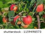 apple garden full of riped red... | Shutterstock . vector #1159498573