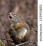 american red squirrel  pine... | Shutterstock . vector #115953853