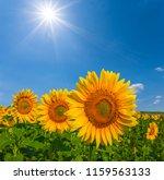 closeup golden sunflowers in a... | Shutterstock . vector #1159563133