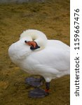 swan scratching head whilst... | Shutterstock . vector #1159667476