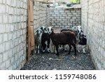 sheep in wild life at dahab...   Shutterstock . vector #1159748086
