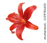 beautiful lily flower isolated... | Shutterstock . vector #1159781653