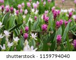 field of siam tulips or dok... | Shutterstock . vector #1159794040