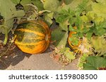 """""""winter squash"""" growing on the... 