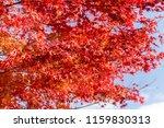 maple leaves in autumn season | Shutterstock . vector #1159830313