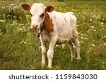 calf on a green meadow | Shutterstock . vector #1159843030