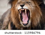 Stock photo angry roaring lion kruger national park south africa 115986796