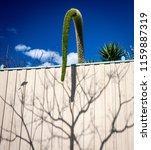 a foxtail agave bent over a... | Shutterstock . vector #1159887319