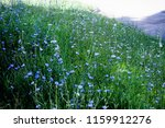 morning chicory meadow  | Shutterstock . vector #1159912276
