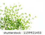 branch of  green leaf isolated... | Shutterstock . vector #1159921453