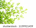 branch of  green leaf isolated... | Shutterstock . vector #1159921459
