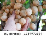 the  workers  are  picking ... | Shutterstock . vector #1159973989