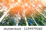 looking up into the birch grove.... | Shutterstock . vector #1159979260