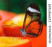 butterfly  greta oto  with... | Shutterstock . vector #1159987609