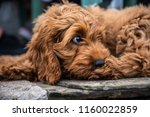 Stock photo a young red cockapoo puppy lying relaxing on paving in the garden on a sunny day with a watching 1160022859
