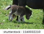 absolutely adorable miniature... | Shutterstock . vector #1160032210