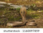 Close view of indian cobra ...