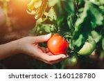 Woman Picking Fresh Tomatoes...