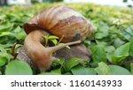 snail on green leaves | Shutterstock . vector #1160143933