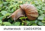 snail on green leaves | Shutterstock . vector #1160143936