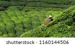worker picking tea leaves in... | Shutterstock . vector #1160144506