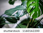 monstera deliciosa or swiss... | Shutterstock . vector #1160162200