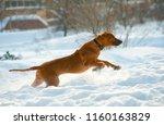 rhodesian ridgeback is on the... | Shutterstock . vector #1160163829