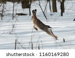 Stock photo the european hare lepus europaeus 1160169280