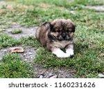a cute puppy lying on grass | Shutterstock . vector #1160231626