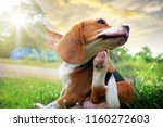 Stock photo beagle dog scratching body on green grass outdoor in the park on sunny day 1160272603