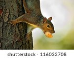 Eastern Gray Squirrel (Sciurus carolinensis) hanging upside down from a tree with hazelnut in its mouth. Montreal, Quebec, Canada, North America - stock photo