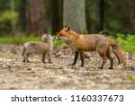 Cute Red Fox  Vulpes Vulpes In...