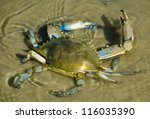 Blue Crab In Water