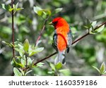 closeup of a beautiful red and... | Shutterstock . vector #1160359186