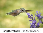 A Female Calliope Hummingbird ...