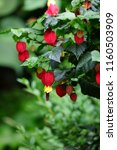 Small photo of Blooming flower of the Trailing Abutilon (Abutilon megapotamicum)