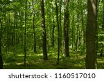 forest landscape  tall trees in ... | Shutterstock . vector #1160517010