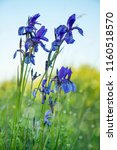 blue violet wild irises on a... | Shutterstock . vector #1160518570