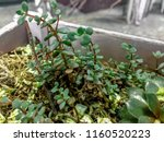 plants in a white wooden box ... | Shutterstock . vector #1160520223