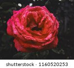 flower of a rose  with drops of ... | Shutterstock . vector #1160520253